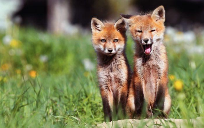 Картинки лисы. Фото лис