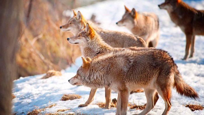 Картинки и фото волков